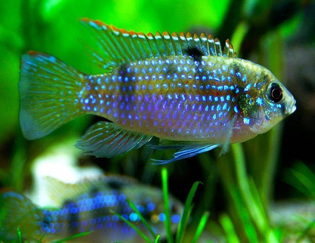 Top facts that you should know about Cichlid fish